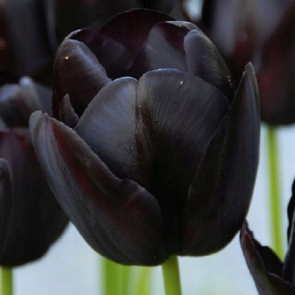 Черный тюльпан год по