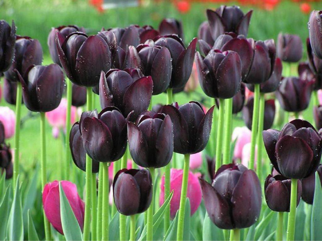 Чёрные тюльпаны фото