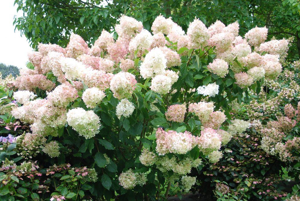 Hydrangea paniculata magical sweet summer