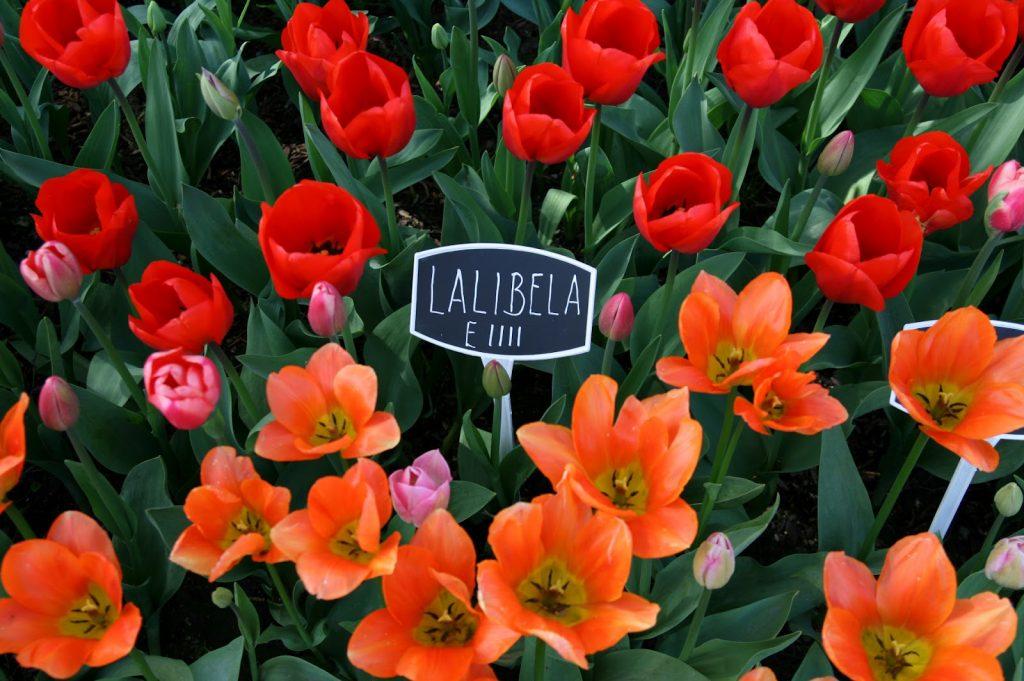 Тюльпан лалибела фото и описание