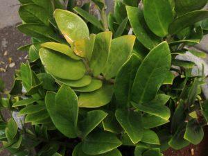 Замиокулькас — причины пожелтения листьев и способы ликвидации проблемы