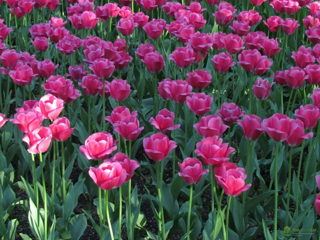 Тюльпаны сорта барселона