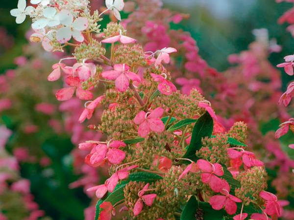 Hydrangea paniculata big ben