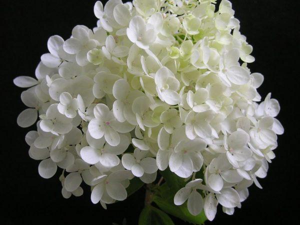 Гортензия метельчатая grandiflora фото