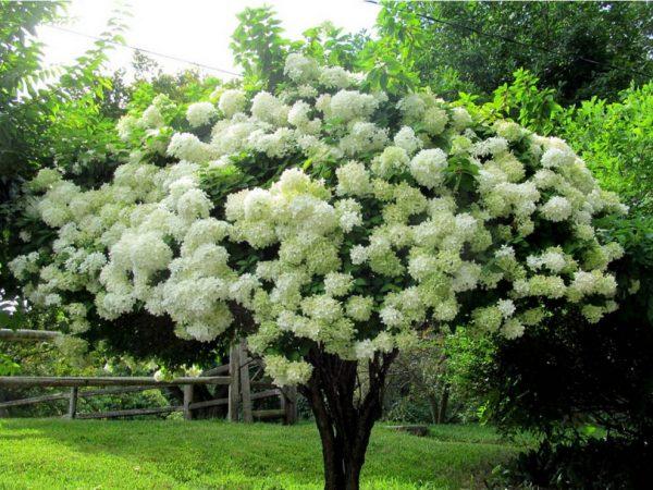 Гортензия грандифлора grandiflora