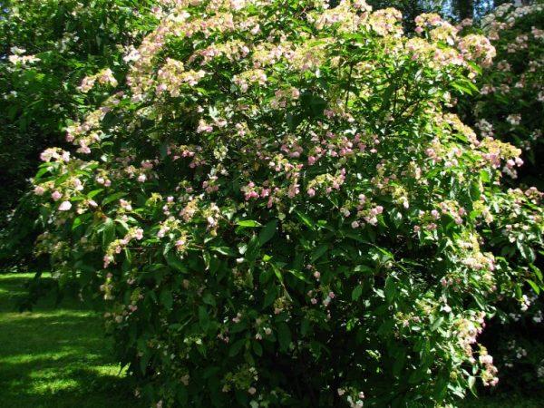 Гортензия бретшнейдера декоративные деревья и кустарники