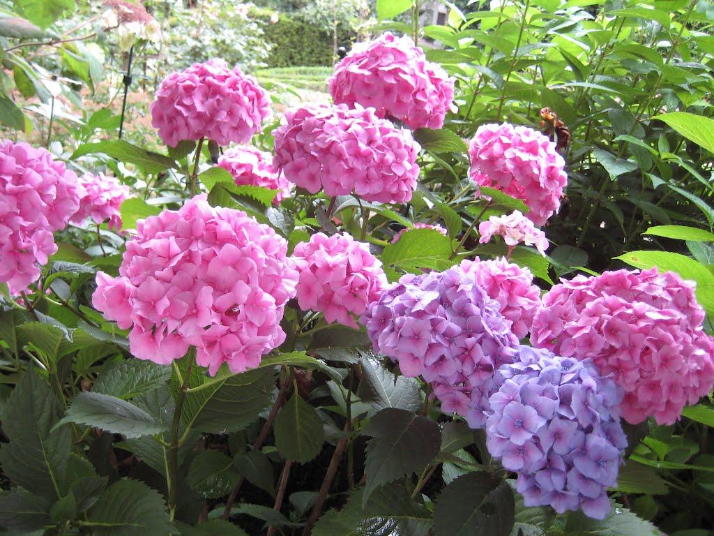 Гортензия букет роуз фото