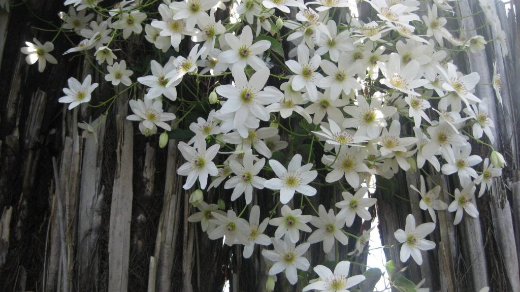 Клематис крупноцветковый бьютифул брайд