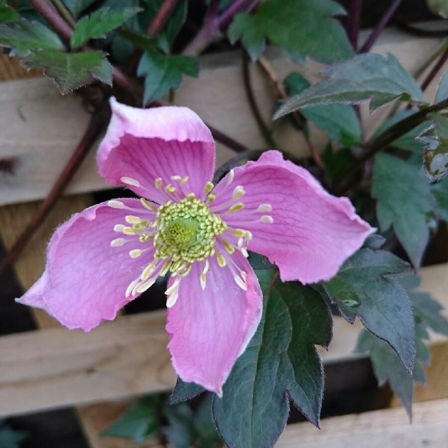 Клематис розовый мелкоцветковый монтана рубенс видео