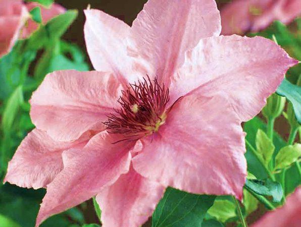 Клематис крупноцветковый пинк фэнтези