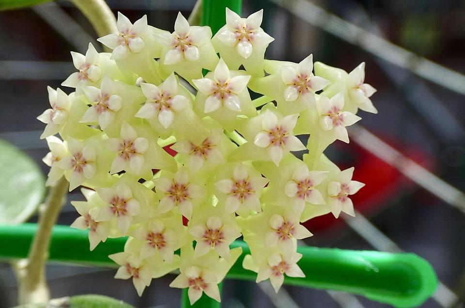 Хойя триколор цветение