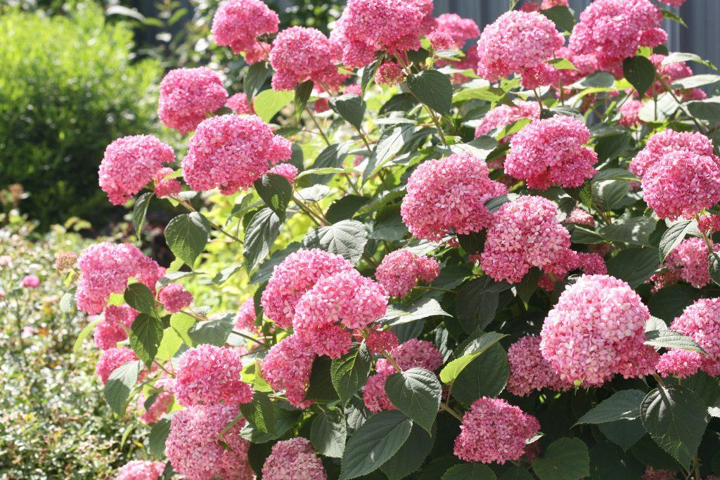 Hydrangea arborescens magical pinkerbell
