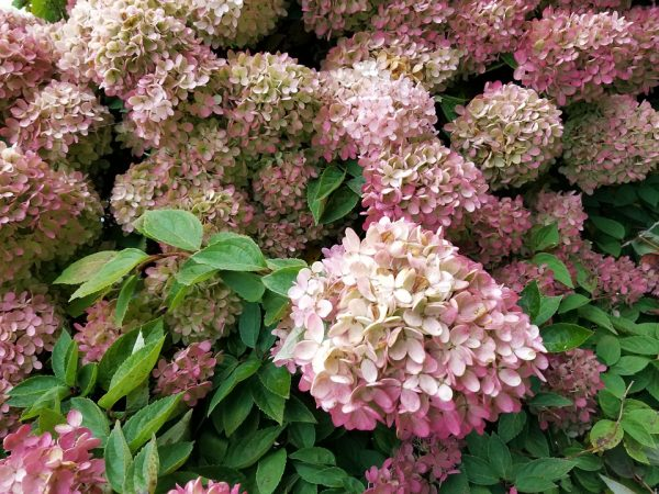 Гортензия метельчатая hydrangea paniculata limelight