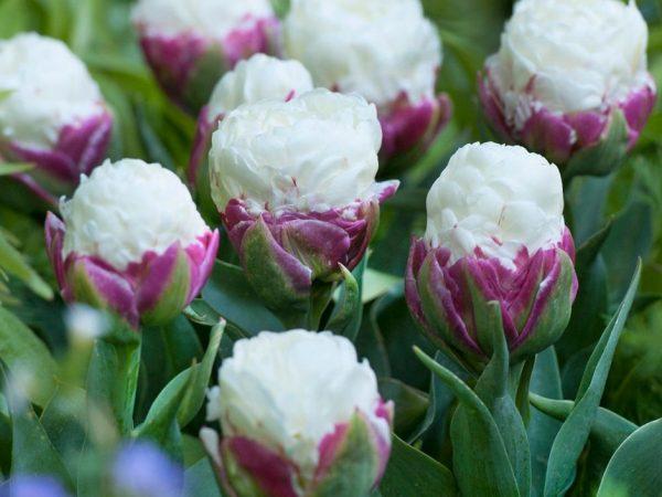 Тюльпаны айс крим фото