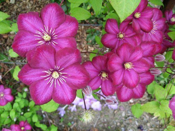 Розовый клематис - украшение сада