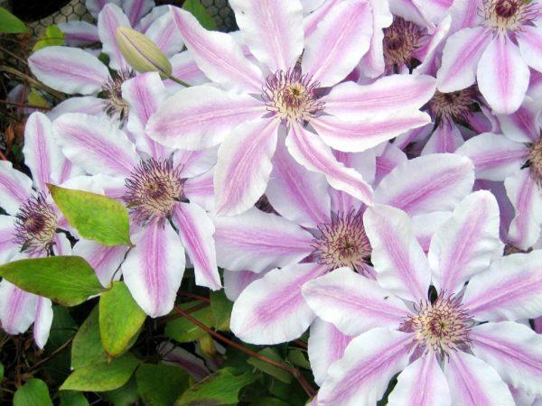 Нежно-розовый клематис выращивают даже неопытные садоводы