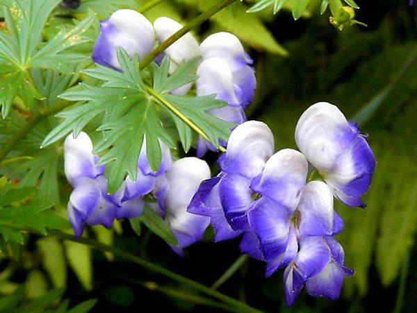 Клематис - цветок, растущий в любых условиях