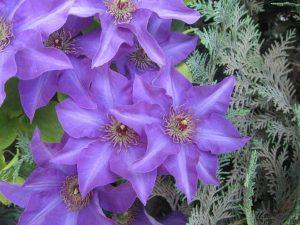 Садовый клематис - неприхотиливый цветок