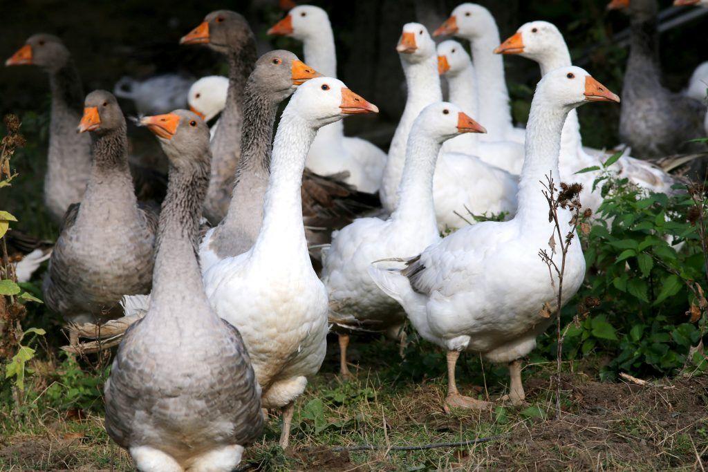 Рентабельность выращивания гусей 5