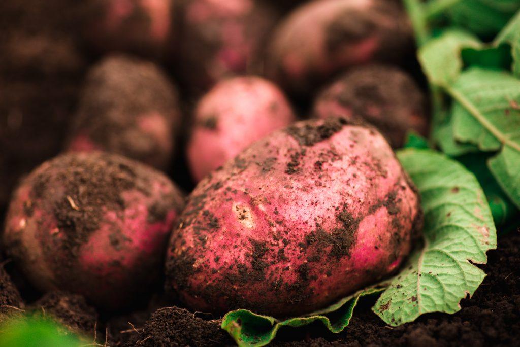 Картофель выращивание и болезни 53