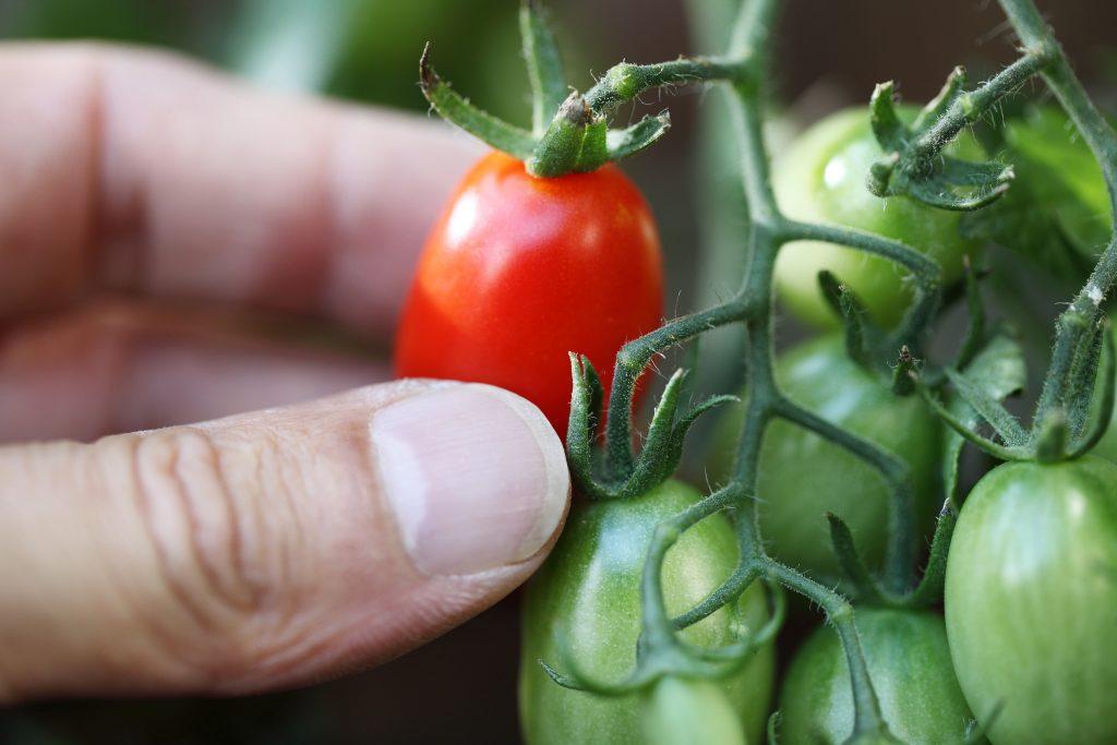Комнатный сюрприз томат выращивание 50