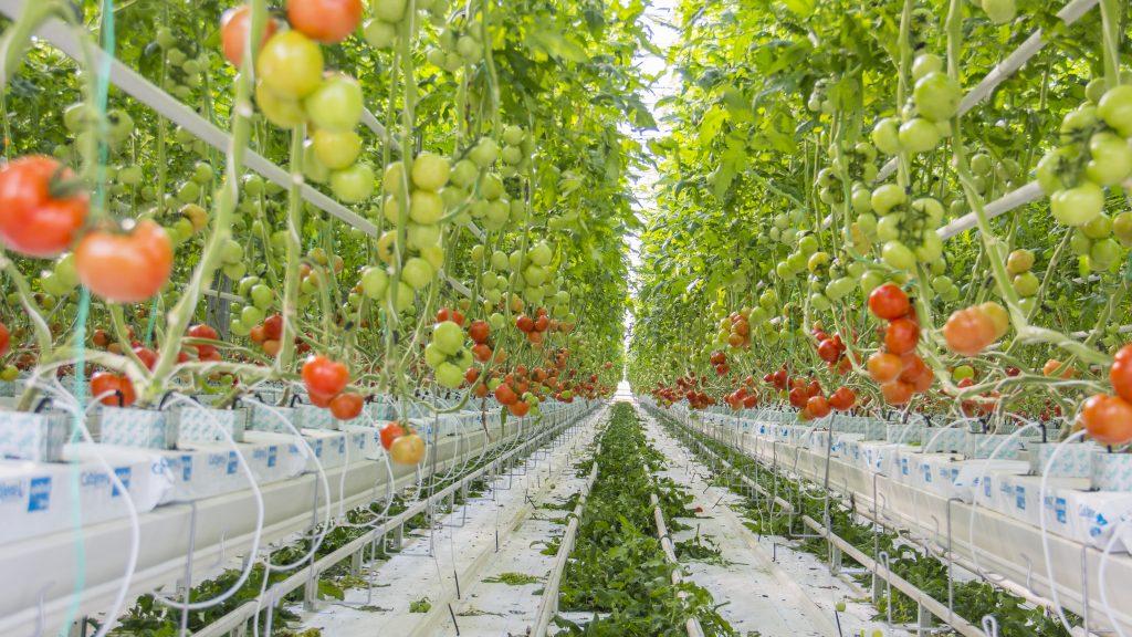 Гидропоника для выращивания помидор