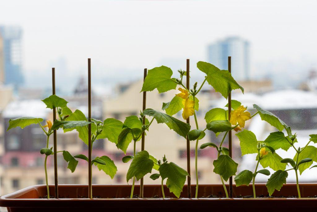Огурец на подоконнике уход и выращивание 33