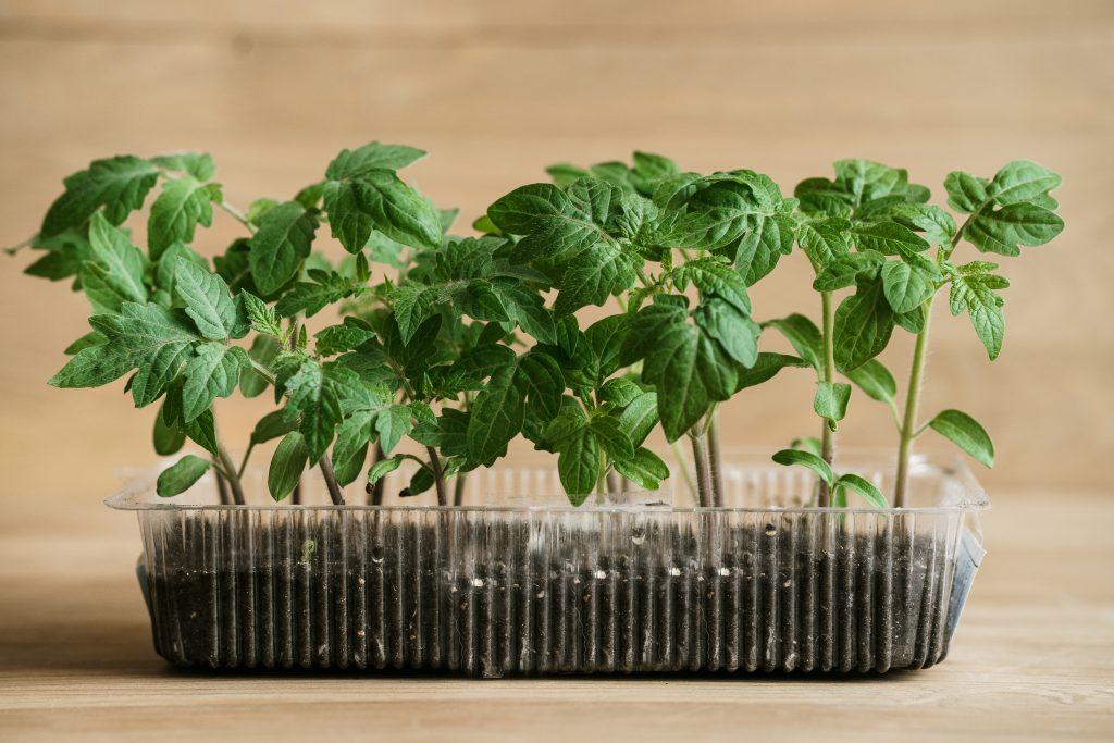 Уход за рассадой помидор в домашних условиях 33