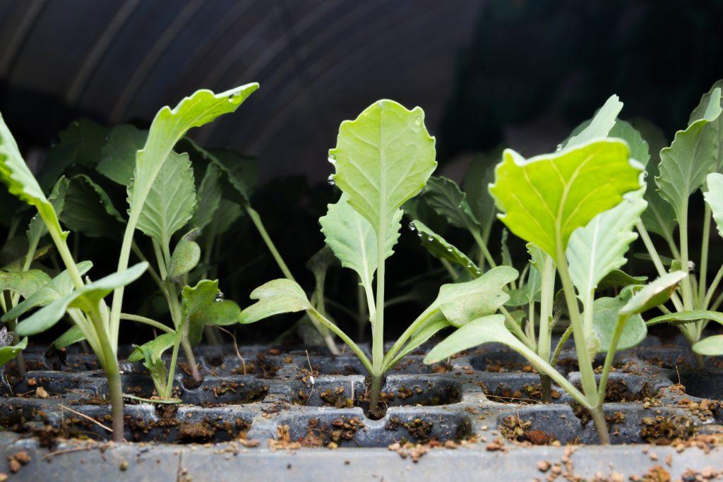 Болезни рассады цветной капусты 18