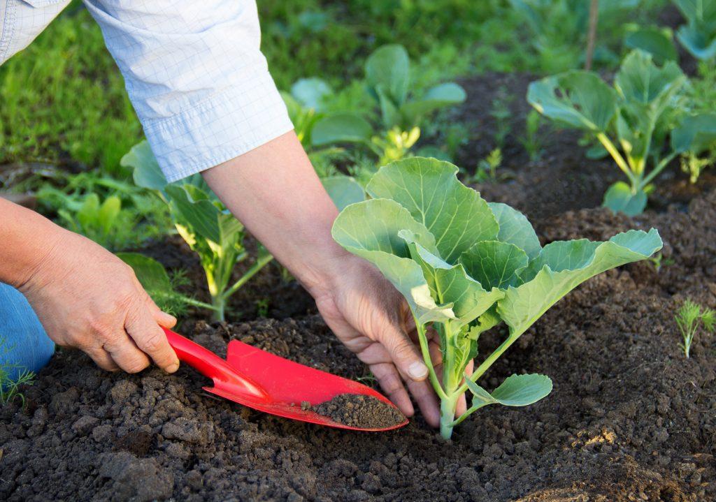 Выращивание капусты на урале в открытом грунте 809