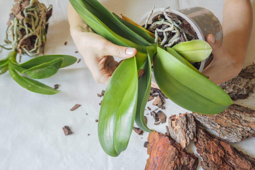 Орхидея в домашних условиях без корней 373