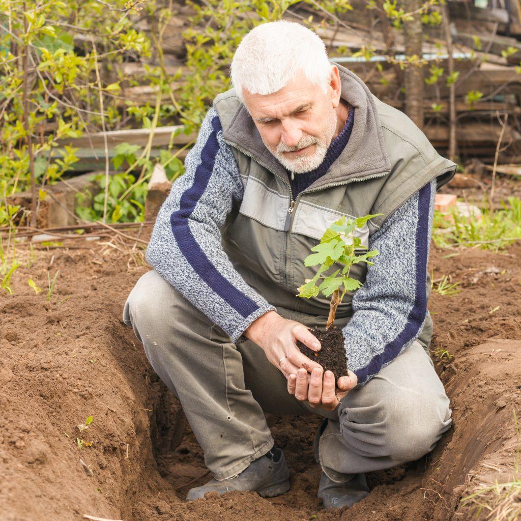 Как сажать черенки винограда весной, чтобы был 54